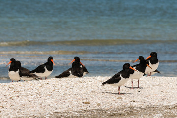 pied oystercatchers on beach in New Zealand