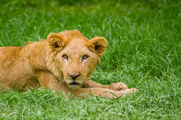 beautiful young lion resting on grass