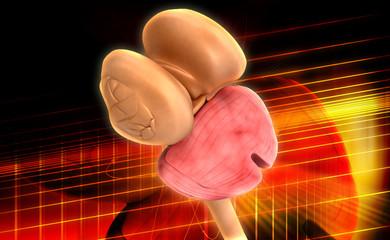 Thalamus Spinal cord and Cerebellum