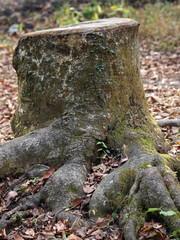 隆々とした根の切り株