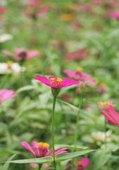 marigold garden flower