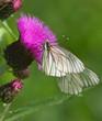Black-veined White butterflies on thistle flower