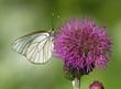 Black-veined White butterfly on thistle flower