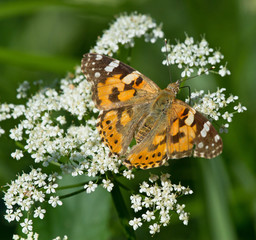 Painted Lady butterfly on yarrow flower