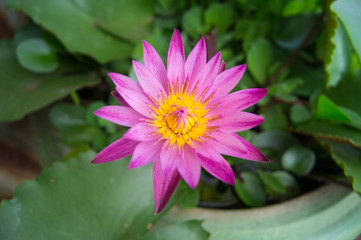 A pink water lilly also called a lotus.