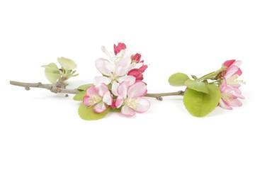 Springtime crabapple flowers