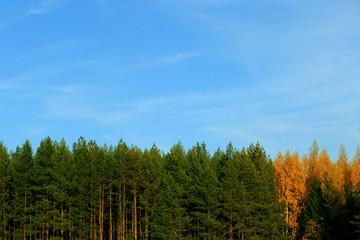 Pines.Landscape.