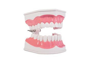 Healthy white human teeth anatomical model. Dentistry.