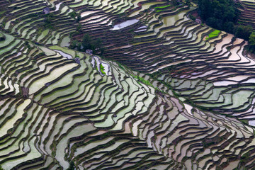 Terraced rice field in Yuanyang, China