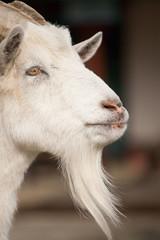 山羊のヒゲ