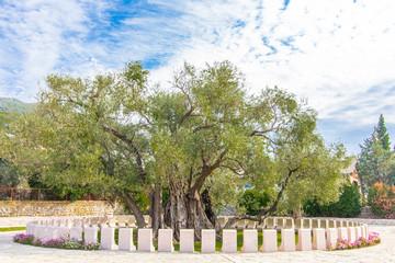 Old olive tree. Bar city, Montenegro.