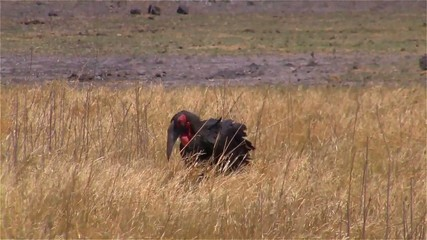 Ground hornbill walking in the savanna