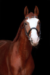 Chestnut stallion portrait on black background