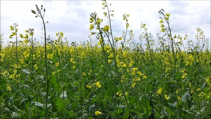 A  field of yellow rape seed plants swaying in the wind