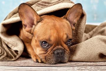 Bulldogge unter Kuscheldecke