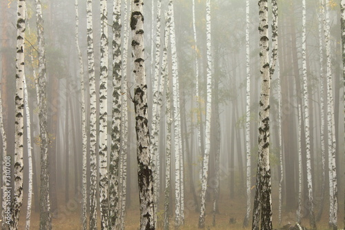 Fog in birch forest © juliasv