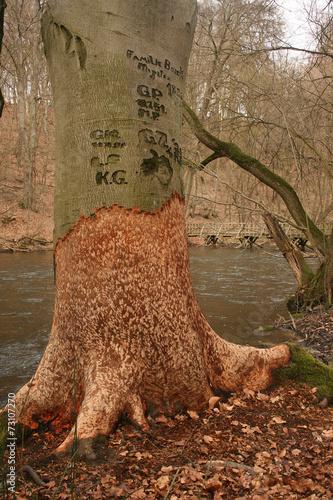 Buche am Fluss Poster
