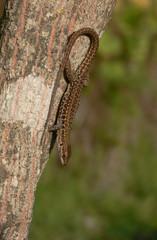 lucertola campestre (Podarcis sicula)