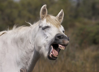 Funny white horse laughing
