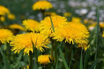 Flores Amarillas Diente de Leon