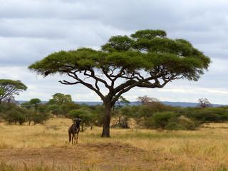 Gnu unter Schirm Akazie Tarangire Nationalpark Tansania