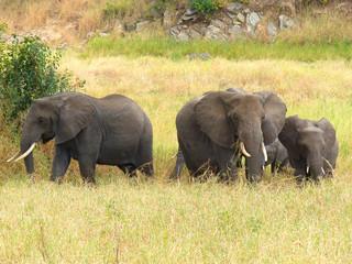 Afrikanische Elefantenherde im Tarangire Nationalpark Tansania