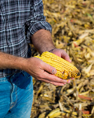 Farmer inspecting corn maize cobs during harvest