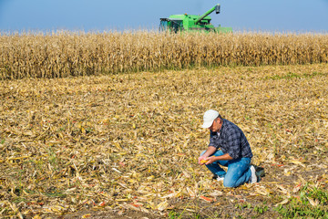 Farmer inspecting corn maize cobs during harvesting