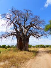 Afrikanischer Affenbrotbaum (Adansonia digitata) Baobab