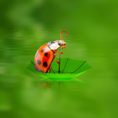 Rainy day in nature. Little ladybug floating on umbrella.