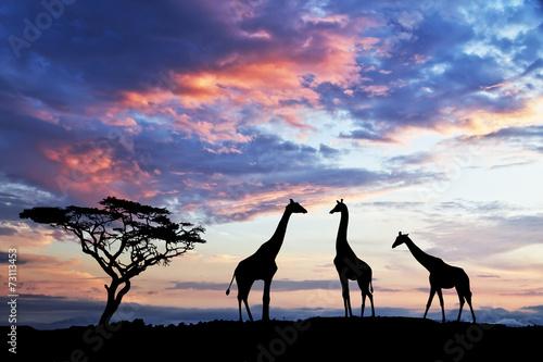 Fotobehang Giraffe reunion de jirafas en la colina