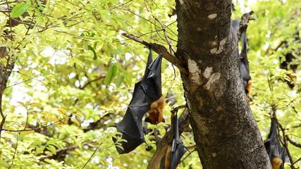 Bat hanging on a tree branch, Black flying-fox. HD