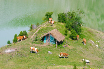 Cow In Uvac River, Serbia