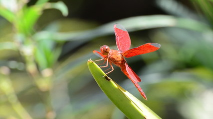 Red dragonfly in nature. HD