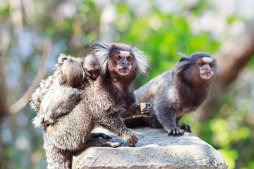 The common marmoset (Callithrix jacchus) White-eared monkey fami