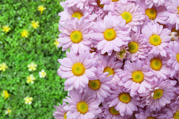 pink chrysanthemum in the garden