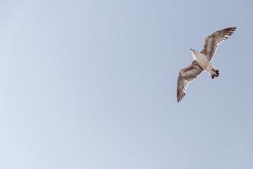 Sea gull in the sky