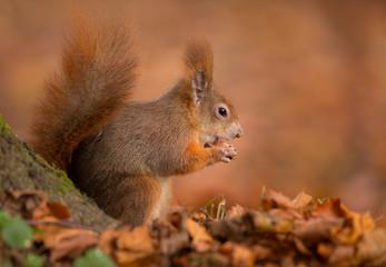 Autumn squirrel in red