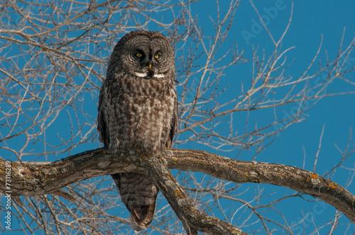 Papiers peints Chouette Great Gray Owl