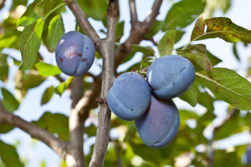 Plums on the tree. Fruit background.