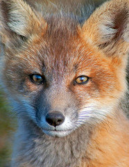 Young Fox Closup