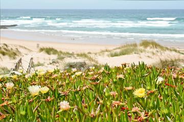 Carpobrotus edulis in dunes, Costa Vicentina Algarve Portugal