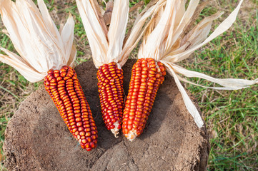 Some corncobs recently harvested. Red corn
