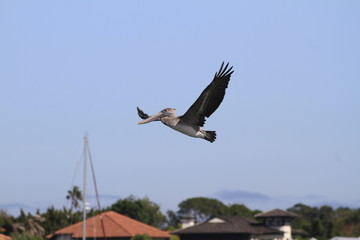 Pelican flying over st. Augustine bay