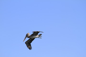 Pelican flying over blue sky