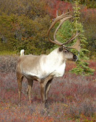 Male Caribou in Fall Color
