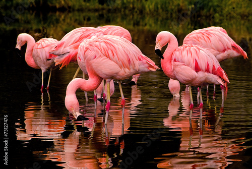 Chilean Flamingos Reflecting in Water - 73127476