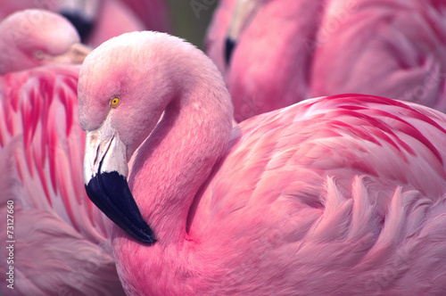 Fotobehang Vogel Chilean Pink Flamingo