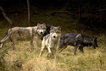 Curious Wolves in field