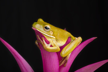 Giant Tree Frog on Colorful Leaves